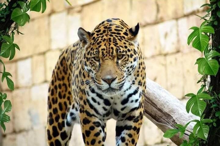 Jaguar Zoo Terra Natura Benidorm